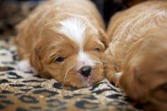 Un perrito minúsculo muy pequeño colocado en una estera por la luz de la ventana imagen de archivo