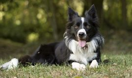 Un perrito pacífico del border collie se relaja en la hierba foto de archivo