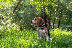Un perrito pensativo del beagle con un correo azul en un paseo en un parque de la ciudad Retrato de un perrito agradable imagen de archivo libre de regalías