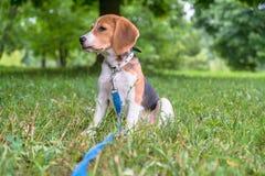 Un perrito pensativo del beagle con un correo azul en un paseo en un parque de la ciudad Retrato de un perrito agradable fotos de archivo libres de regalías