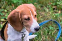 Un perrito pensativo del beagle con un correo azul en un paseo en un parque de la ciudad Retrato de un perrito agradable foto de archivo