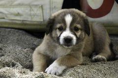 Un perrito precioso que se sienta y que mira en cámara foto de archivo