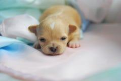 Un perrito recién nacido Imagen de archivo libre de regalías