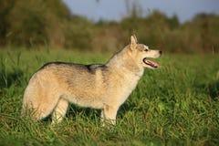 Un perro adulto del Malamute de la raza Estante agradable Vista lateral Imágenes de archivo libres de regalías