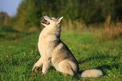 Un perro adulto del Malamute de la raza sits Vista lateral Fotos de archivo