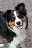 Un perro alerta joven del collie Foto de archivo libre de regalías