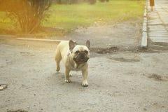 Un perro aljofifa Foto de archivo
