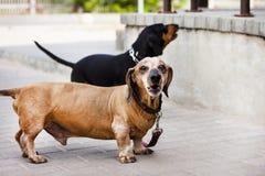 Un perro basset en la cantidad de dos pedazos me mira Profundidad baja del corte Imágenes de archivo libres de regalías