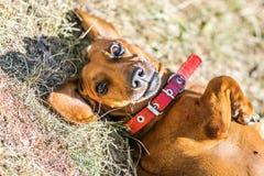 Un perro basset lindo que miente en su parte posterior abajo en la tierra en el día del sunnu Imagen de archivo