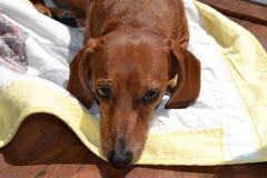 Un perro basset que pone en un edredón amarillo Fotografía de archivo