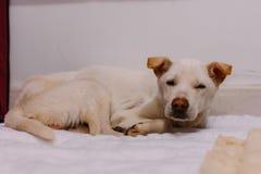 Un perro blanco de la calle apenas ahorró de la calle y siente débil y soñoliento imagen de archivo