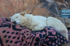Un perro blanco está descansando sobre una colcha en un pueblo beduino imagenes de archivo