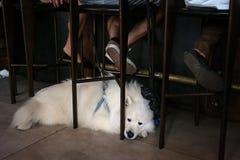 Un perro blanco mullido lindo que miente en el piso fotografía de archivo