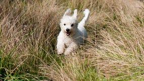 Un perro blanco mullido que se ejecuta a través de hierba alta Fotografía de archivo