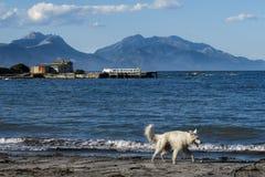 Un perro blanco que da un paseo alrededor de la orilla impresionante de Kaikoura, Nueva Zelanda imagen de archivo