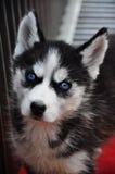 Un perro blanco y negro del perro esquimal siberiano Imagen de archivo