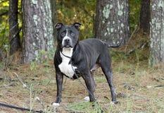 Un perro blanco y negro más viejo de Pitbull Fotografía de archivo