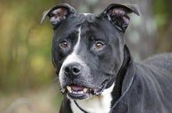 Un perro blanco y negro más viejo de Pitbull Imagen de archivo