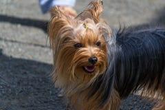 Un perro bonito, un terrier de Yorkshire, colocándose en un correo en los pies del dueño Imagen de archivo libre de regalías