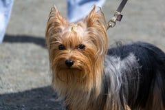 Un perro bonito, un terrier de Yorkshire, colocándose en un correo en los pies del dueño Fotos de archivo libres de regalías