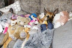 Un perro bonito y juguetes Fotos de archivo libres de regalías