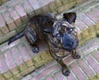 Un perro Brindle Foto de archivo