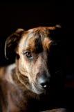 Un perro brindled adorable Foto de archivo