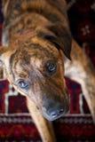 Un perro brindled adorable Fotografía de archivo libre de regalías
