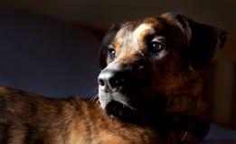 Un perro brindled adorable Imágenes de archivo libres de regalías