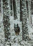 Un perro camina en un bosque nevoso del invierno en naturaleza imagen de archivo