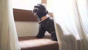 Un perro con la cortina Imagen de archivo