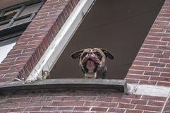 Un perro con su pegarse principal fuera de la ventana fotografía de archivo