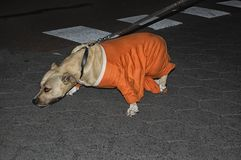 Un perro con una camisa holandesa de la naranja del fútbol Fotos de archivo