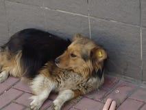 Un perro con una etiqueta en operaciones de la esterilización Fotografía de archivo