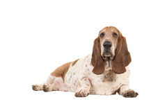 Un perro de afloramiento gordo más viejo que miente abajo haciendo frente a la cámara vista del lado Fotos de archivo