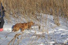 Un perro de aguas pelirrojo imagen de archivo libre de regalías
