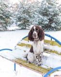 Un perro de aguas de saltador inglés triste de la raza del perro se sienta solamente en banco en parque del invierno foto de archivo