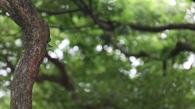 Un perro de aguas de Taiwán del pájaro en la jerarquía del agujero en el árbol en Taiwán Daan Forest Park metrajes