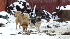 Un perro de la calle toma la comida de un perro nacional, perros perdidos, comida de perro almacen de video