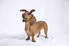 Un perro de la casta del Dachshund Imágenes de archivo libres de regalías