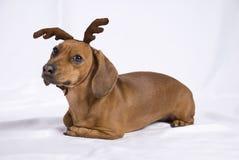 Un perro de la casta del Dachshund Fotos de archivo libres de regalías