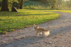 Un perro de la chihuahua en un parque imágenes de archivo libres de regalías