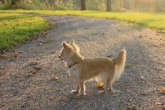 Un perro de la chihuahua en un parque foto de archivo