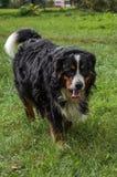Un perro de la raza de Berner Sennenhund durante un paseo en la calle imagen de archivo libre de regalías