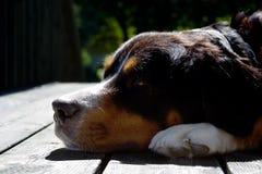 Un perro de montaña bernese Imágenes de archivo libres de regalías
