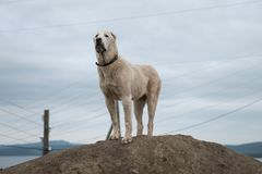 Un perro de ovejas blancas soportes de 9 meses en una pila de tierra, contra un cielo nublado Imágenes de archivo libres de regalías