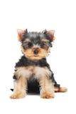 Un perro de perrito del terrier de Yorkshire (de de tres meses) Foto de archivo libre de regalías