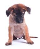 Un perro de perrito feliz sonriente hermoso del chocolate oscuro se está sentando, i Fotos de archivo