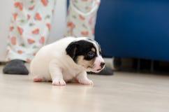 Un perro de perrito muy joven del terrier de Russell del enchufe está caminando alrededor del piso en casa Fotografía de archivo