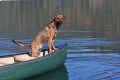 Un perro de plott brindled en un barco Foto de archivo
